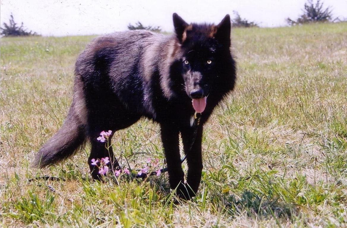 Black Wolf Hybrid | www.imgkid.com - The Image Kid Has It!